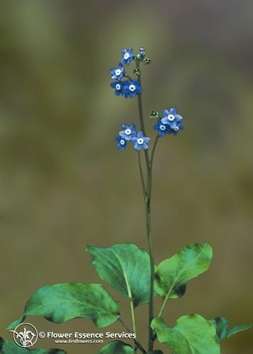 Hound S Tongue F E S Californian Flower Essence Self Heal Distributing
